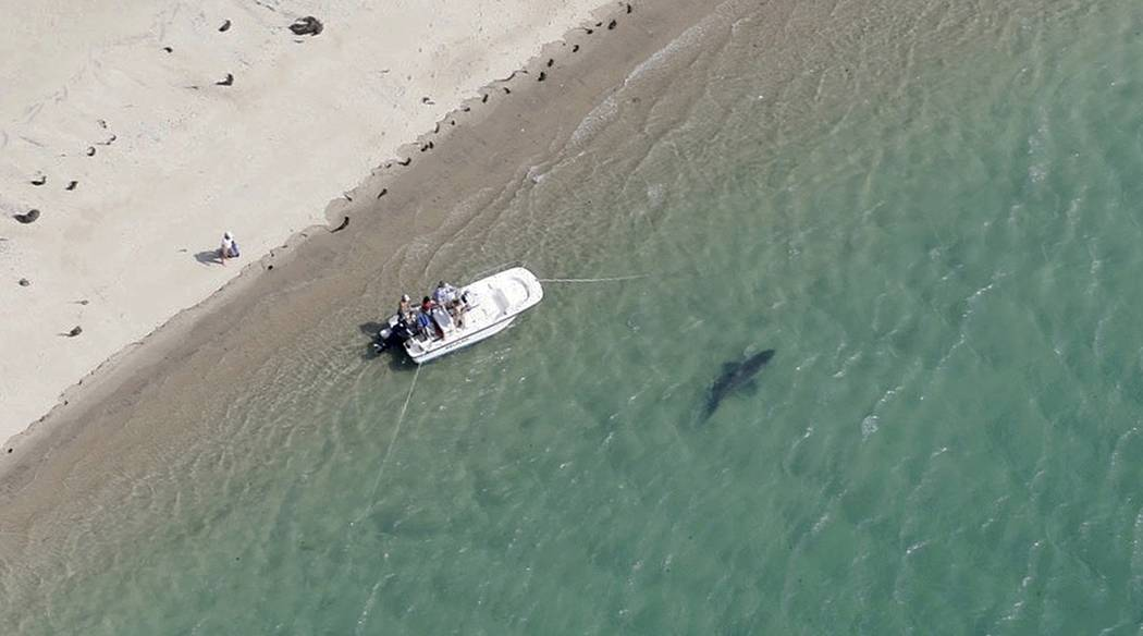 A great white shark swims close to the Cape Cod shore in Chatham, Mass, in this July 25, 2016, photo released by the Atlantic White Shark Conservancy. Great white sharks are making their annual re ...