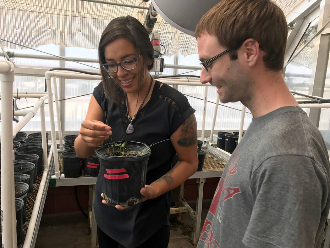UNLV students Ka-Voka Jackson, left, and Kevin Berghel monitors plant that are growing in a greenhouse at the university in Las Vegas June 21, 2017. (Natalie Bruzda Las Vegas Review-Journal)