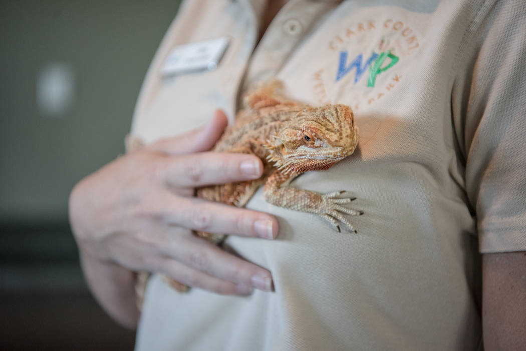 Alice Hulslander holds a bearded dragon at Clark County Wetlands Park's annual Summer Open House on Saturday, July 1, 2017, in Las Vegas. Morgan Lieberman Las Vegas Review-Journal