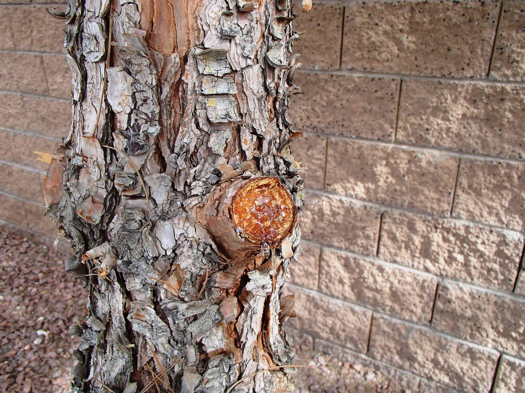 Bob Morris When pine trees have wounds, it is normal for them to leak sap. It is their way of healing from wounds.