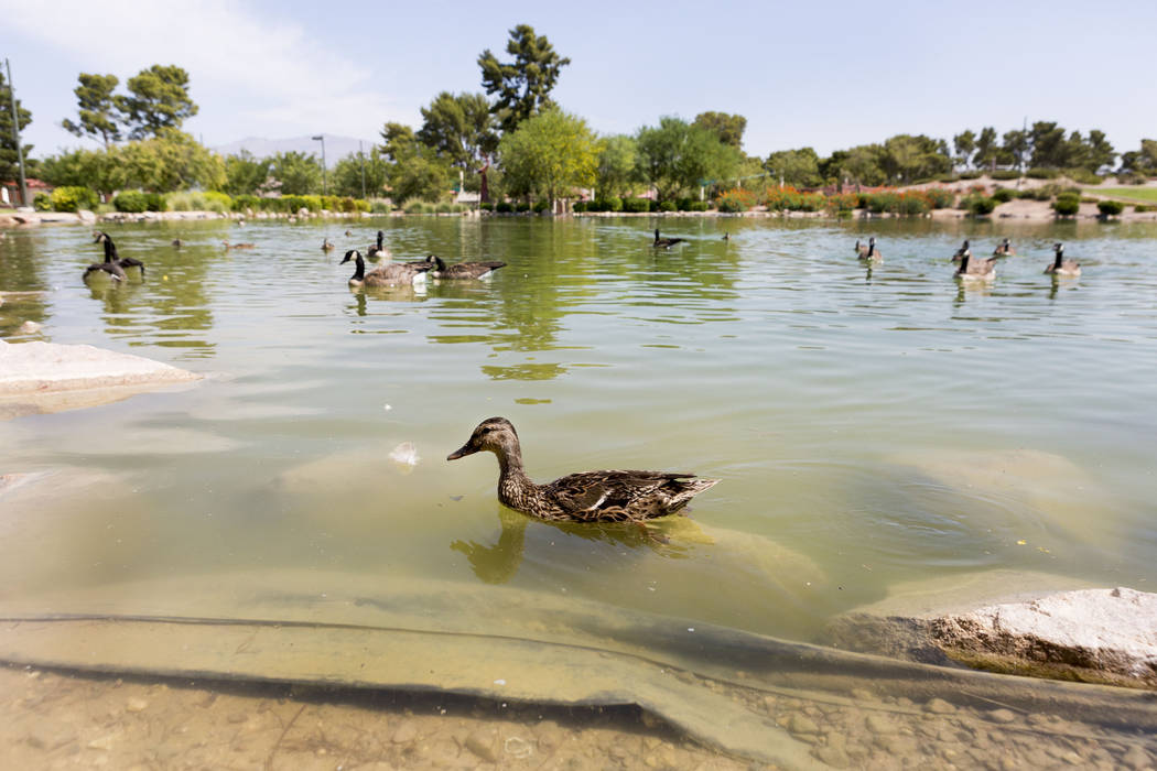 Ducks swim at Craig Ranch Regional Park in Las Vegas, Thursday, July 6, 2017. (Elizabeth Brumley/Las Vegas Review-Journal)