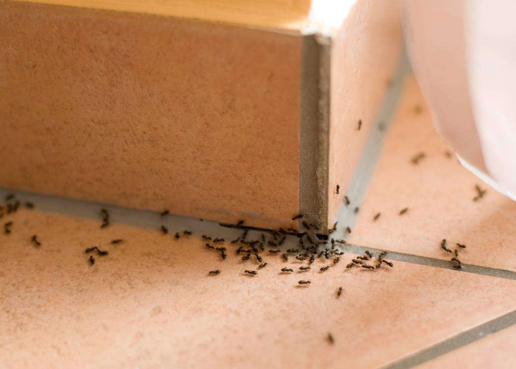 Thinkstock During the hot, dry summer, ants are motivated to scurry into your house in search of food and water.