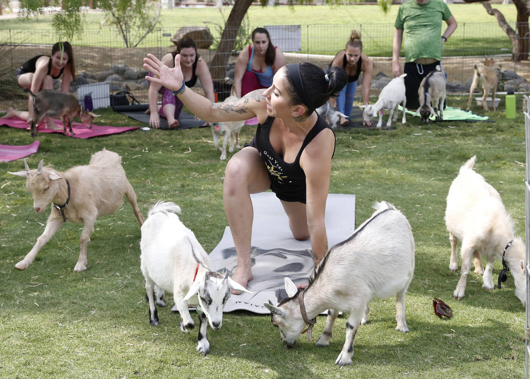 Nicki Taylor teaches a goat yoga class at Western Trails Neighborhood Park in Las Vegas on Saturday, July 8, 2017. Bizuayehu Tesfaye/Las Vegas Review-Journal @bizutesfaye