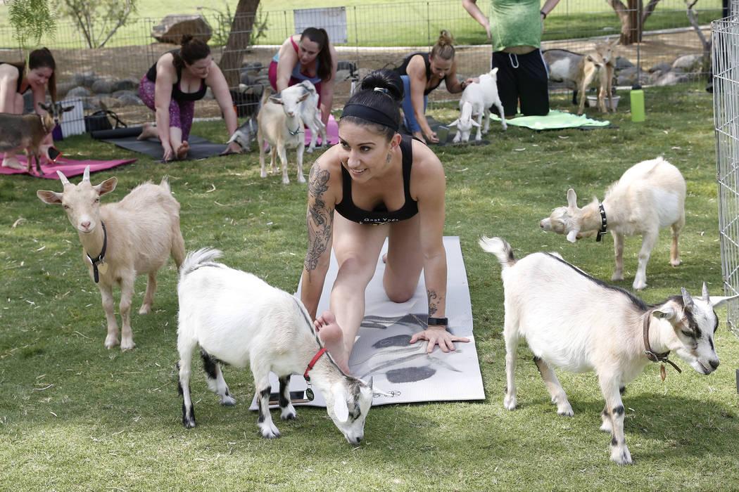 Nicki Taylor teaches a goat yoga class at Western Trails Neighborhood Park in Las Vegas on Saturday, July 8, 2017. Bizuayehu Tesfaye/Las Vegas Review-Journal @bizutesfaye