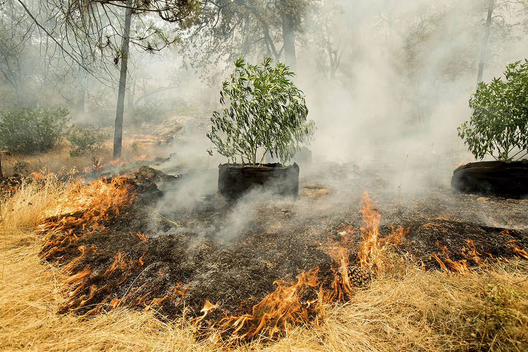Flames surround a marijuana plant as a wildfire burns near Oroville, Calif., on Saturday, July 8, 2017. (AP Photo/Noah Berger)