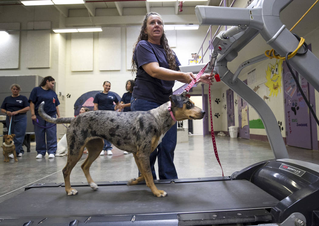 Inmate Melonie Sheppard walks Honey, a Catahoula Cur, on a treadmill inside the Pups on Parole cell block at the Florence McClure Women's Correctional Center in Las Vegas on Tuesday, July 11, 2017 ...