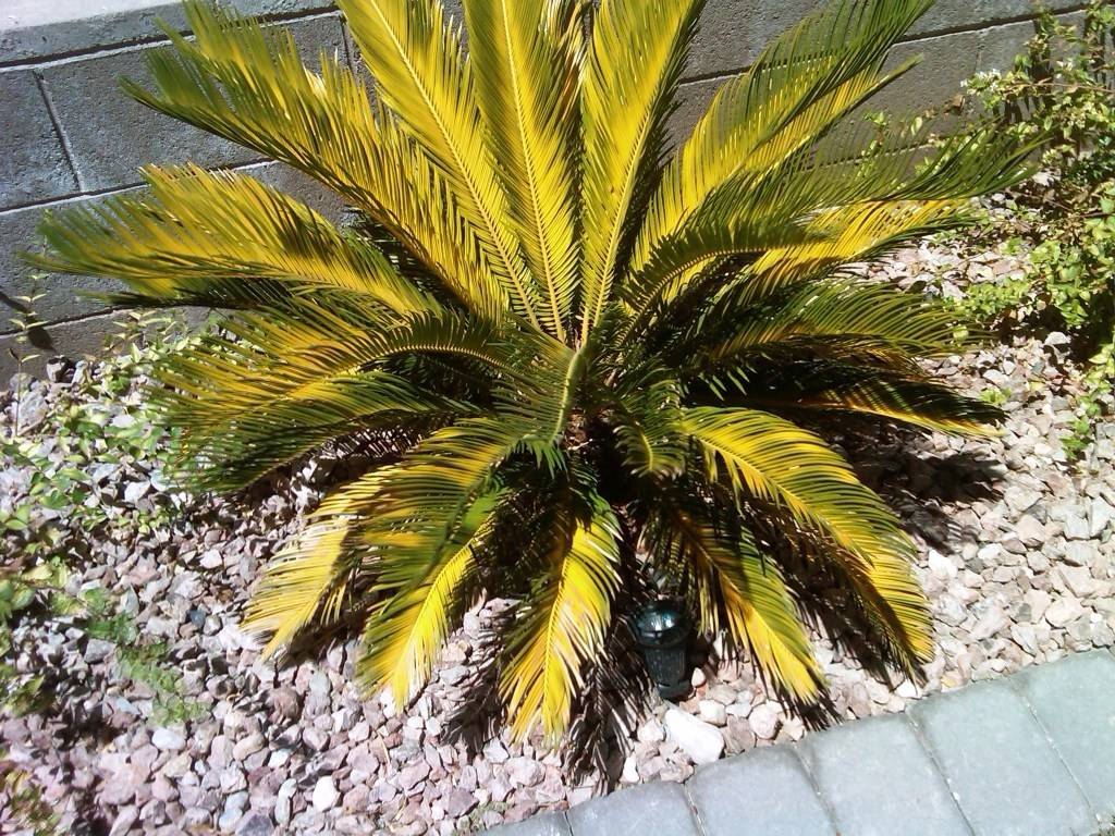 Bob Morris Sago palms grow poorly and the fronds yellow when grown in soils with little organic matter.