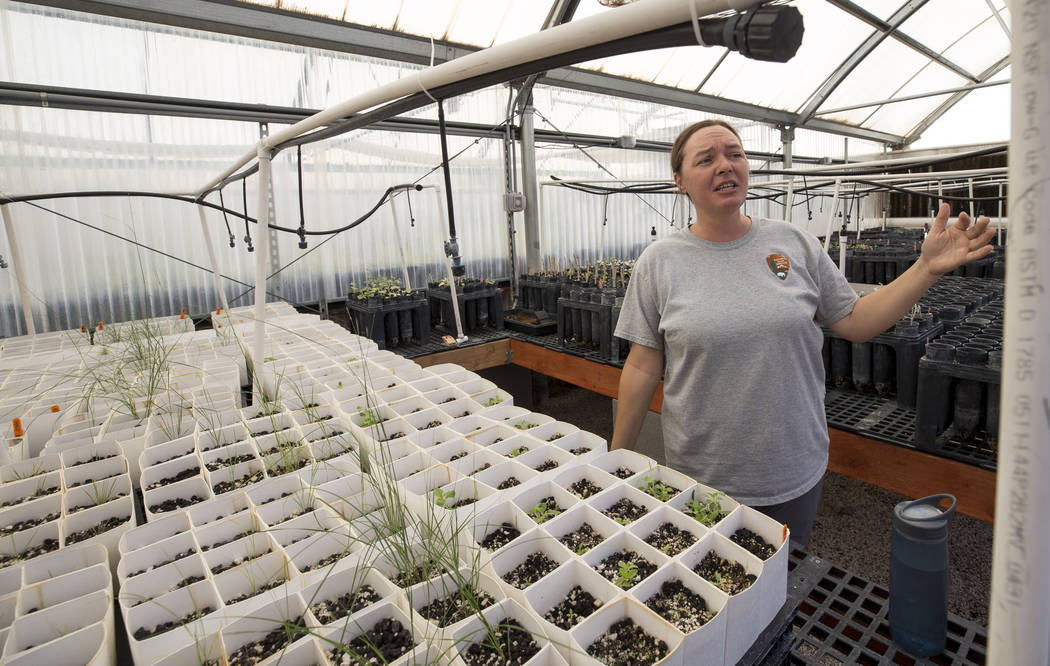 Biologist Kelly Wallace, manager of Song Dog Native Plant Nursery, in a greenhouse at the nursery located inside Lake Mead National Recreation Area, Saturday, July 15, 2017,. Richard Brian Las Veg ...