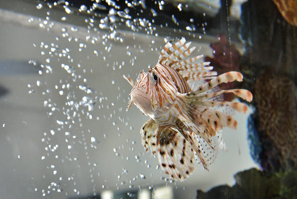 "A lionfish is shown in the aquarium at the home of Wayde King, star of ""Tanked"" on Animal Planet. (Bill Hughes/Real Estate Millions)"