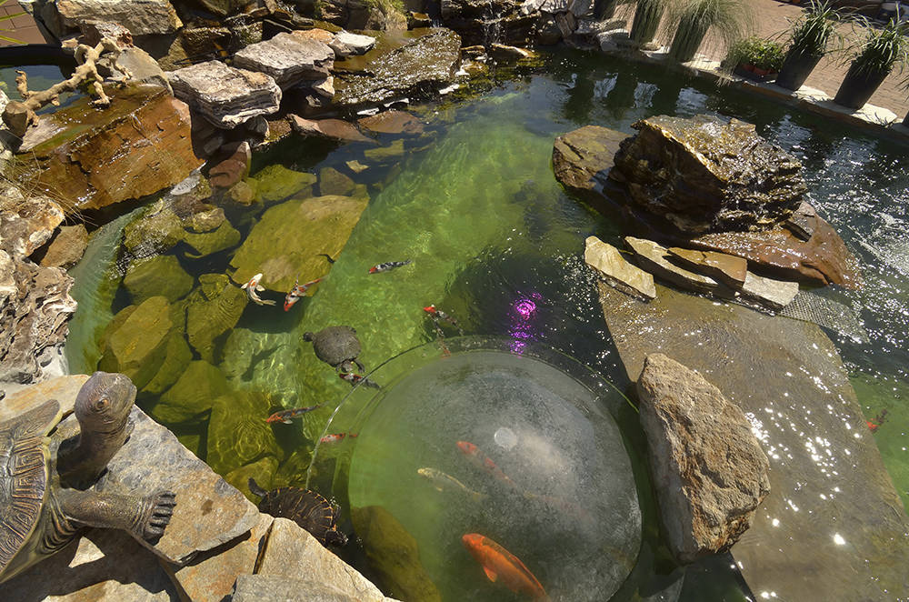 Tanked stars create over the top ponds for las vegas for Backyard pond animals