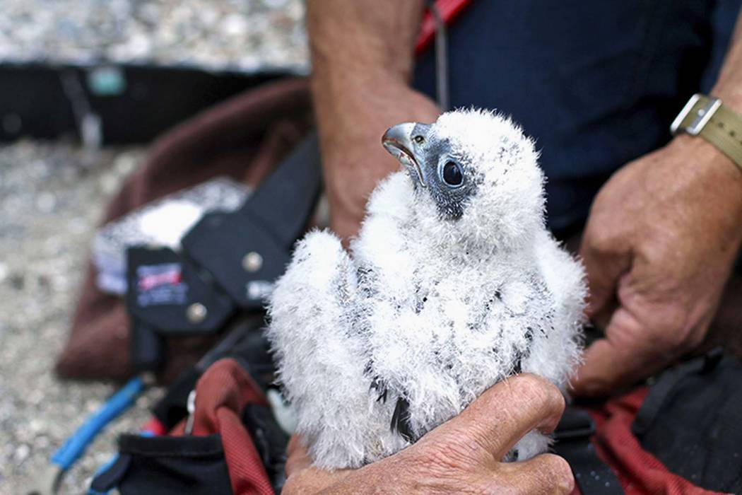 This June 21, 2017 photo shows peregrine falcon Lux at the University of California, Berkeley, in Berkeley. Lux, one of two baby peregrine falcons born on the university campus, died after flying  ...