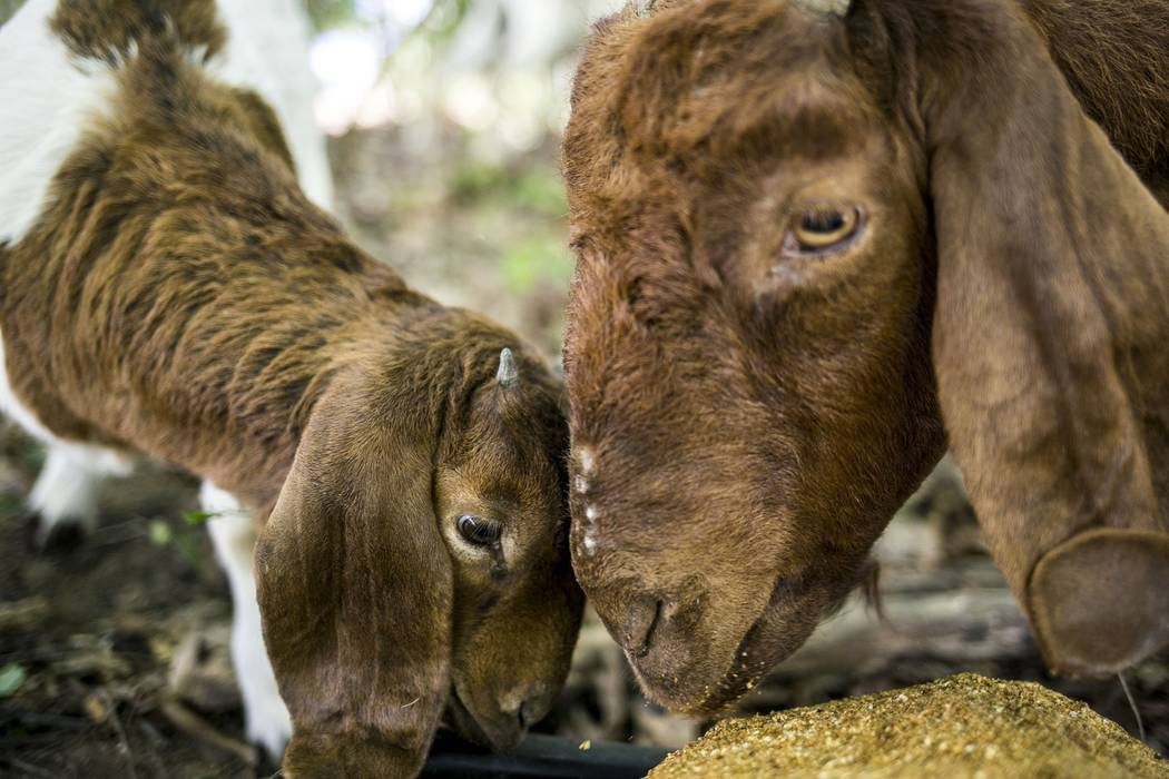 Goats from the landscaping company Munchers on Hooves graze on leaves and weeds near the Sindecuse Health Center on Western Michigan University's campus on June 2, 2017. (Carly Geraci/Kalamazoo Ga ...