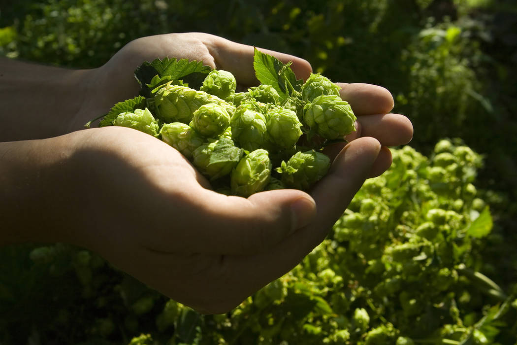 Thinkstock Hops are the flowers of the hop plant Humulus lupulus. They are used primarily to stabilize the beer and add either bitter, zesty or citric flavors.