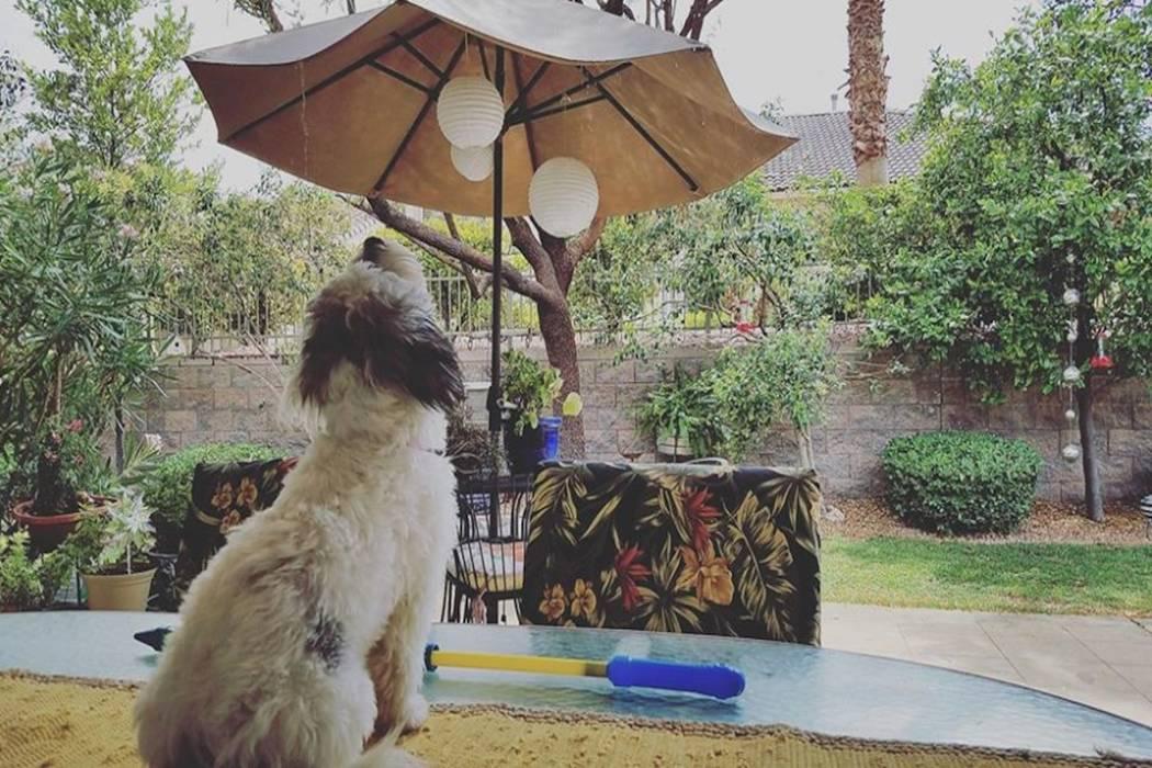Lulu watches rain drops in Summerlin's Siena community. (Susie Russell-Wagner/Facebook)