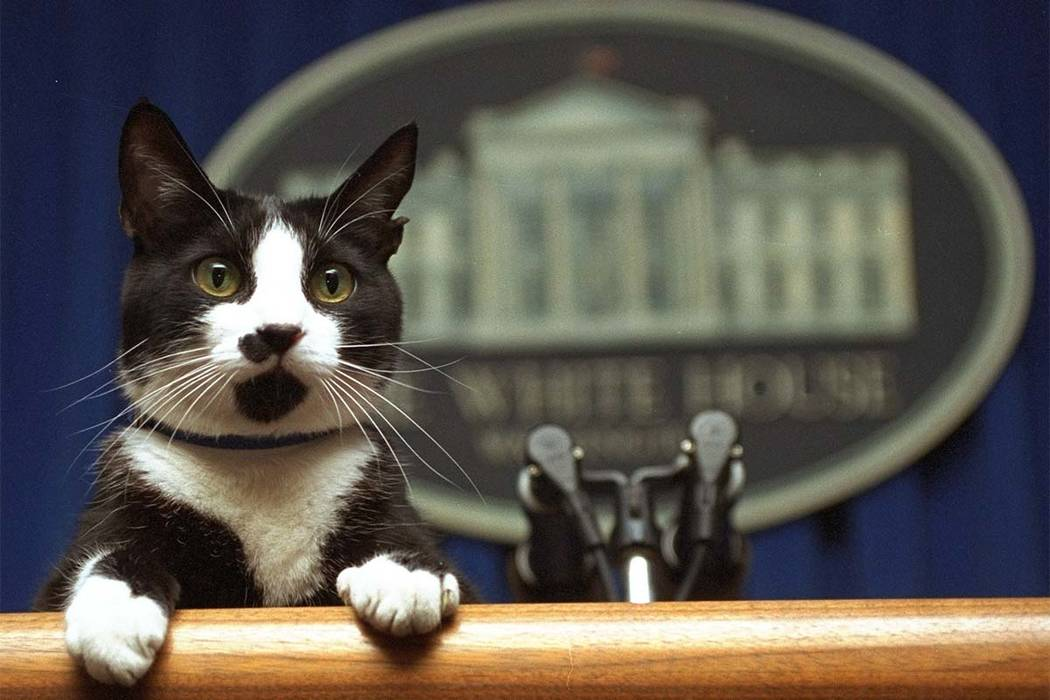 Former first cat Socks was a stray cat rescued by Chelsea Clinton. Chelsea, Socks lived in the governor's mansion in Arkansas and later moved with the family to the White House. (Marcy Nighswander ...