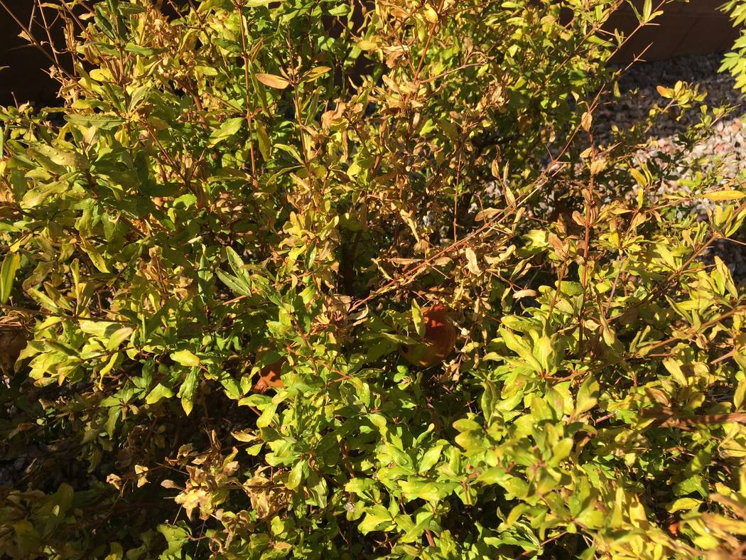 Pomegranate Resilient In Desert But Watch Overwatering Las Vegas