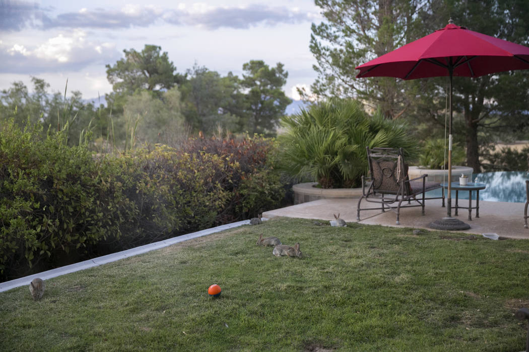 Wild rabbits graze in Eva Thomas' backyard in Queensridge, Las Vegas, Thursday, July 27, 2017. In June 2017, the Badlands Golf Course's owners turned the water off, allowing the grass to dry out a ...