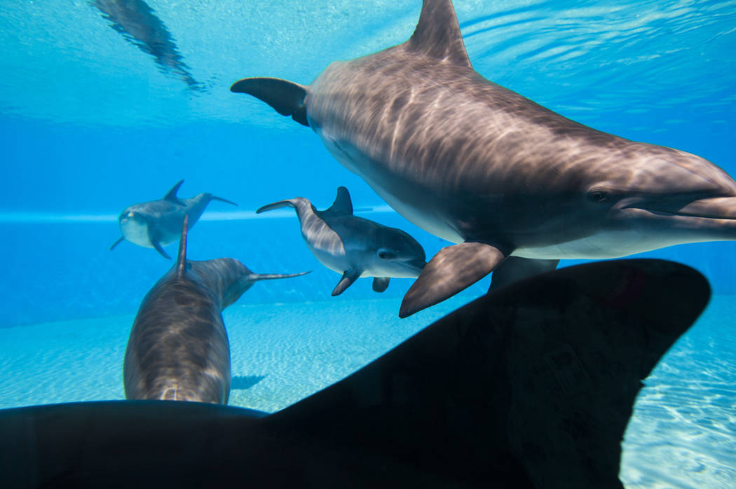 A female dolphin calf, born July 17, swims below her mother, Huf n Puf, at Siegfried & Roy's Secret Garden and Dolphin Habitat at The Mirage hotel-casino in Las Vegas on Tuesday, Aug. 1, 2017. ...