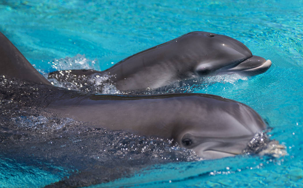 Huf n Puf, bottom, swims with her female dolphin calf, born July 17, at Siegfried & Roy's Secret Garden and Dolphin Habitat at The Mirage hotel-casino in Las Vegas on Tuesday, Aug. 1, 2017. Th ...