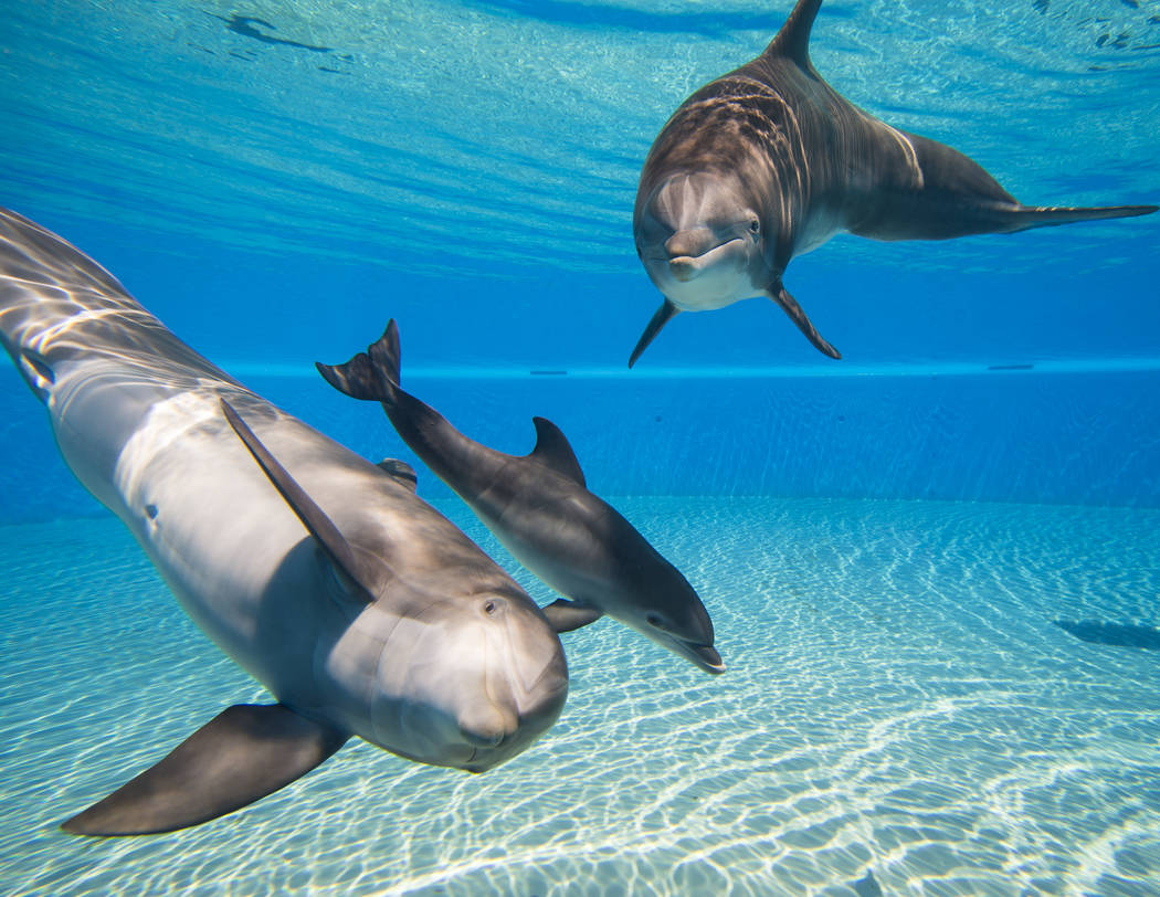 A female dolphin calf, born July 17, swims between her mother, Huf n Puf, left, and grandmother, Duchess, at Siegfried & Roy's Secret Garden and Dolphin Habitat at The Mirage hotel-casino in L ...