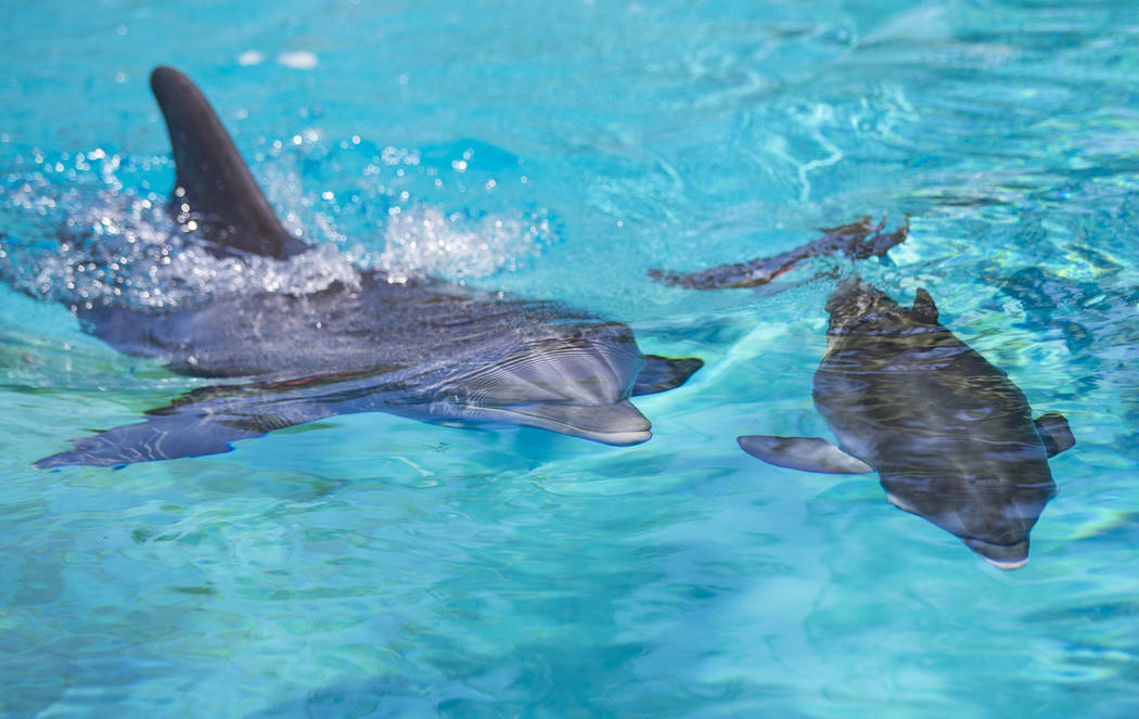 Huf n Puf, left, swims with her female dolphin calf, born July 17, at Siegfried & Roy's Secret Garden and Dolphin Habitat at The Mirage hotel-casino in Las Vegas on Tuesday, Aug. 1, 2017. The  ...