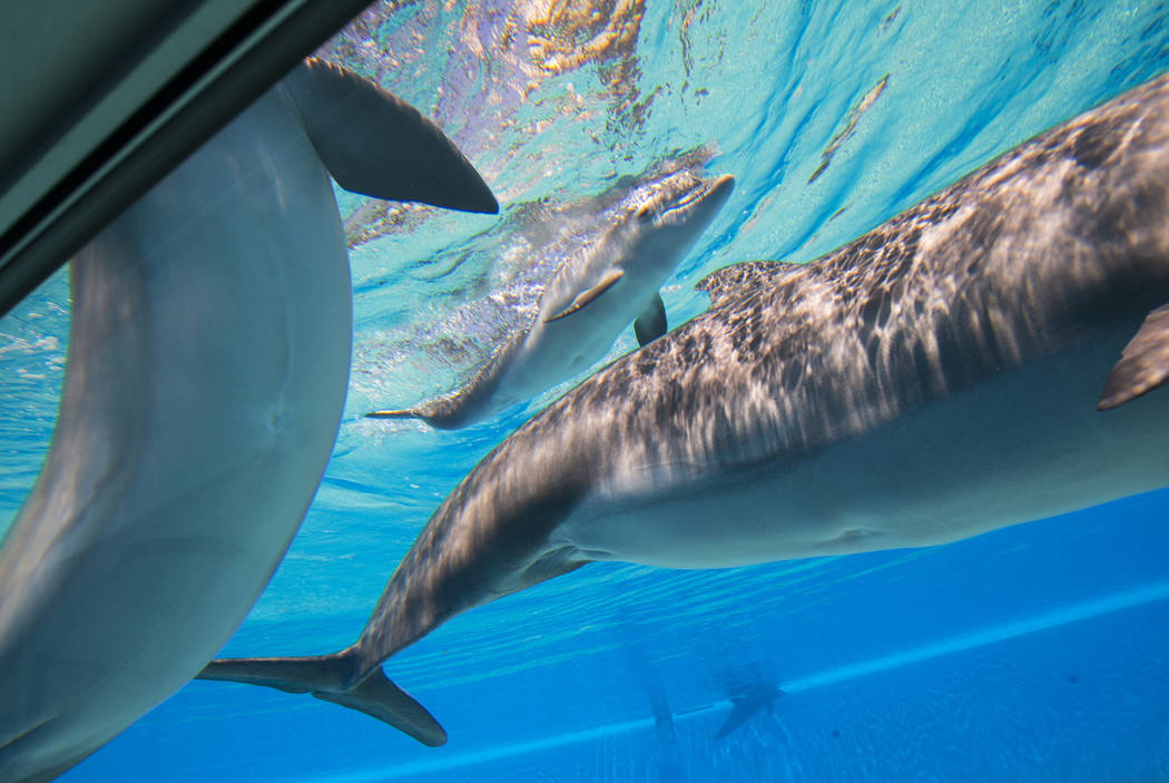A female dolphin calf, center, born July 17 to Huf n Puf, swims around at Siegfried & Roy's Secret Garden and Dolphin Habitat at The Mirage hotel-casino in Las Vegas on Tuesday, Aug. 1, 2017.  ...