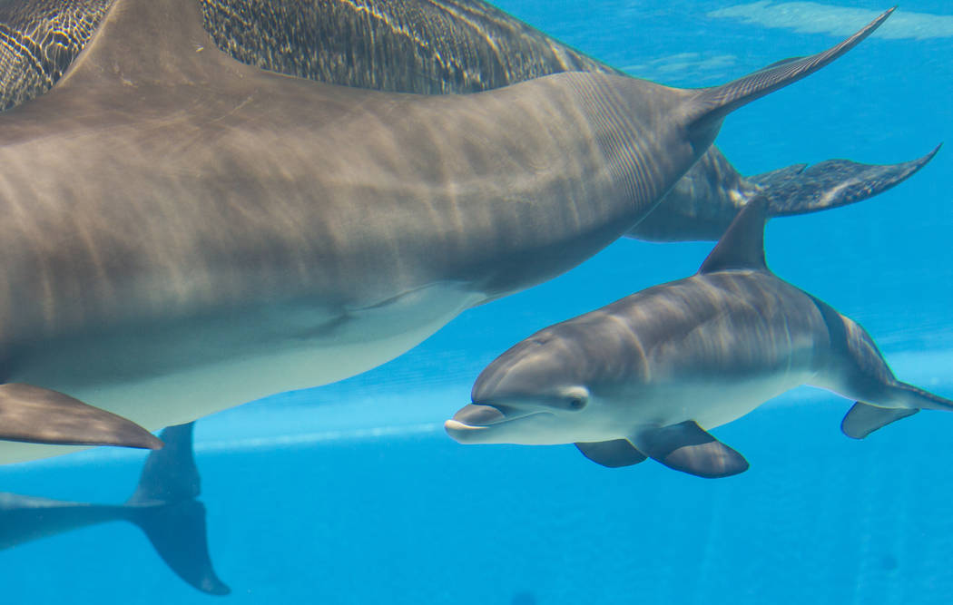 A female dolphin calf, born July 17 to Huf n Puf, swims around at Siegfried & Roy's Secret Garden and Dolphin Habitat at The Mirage hotel-casino in Las Vegas on Tuesday, Aug. 1, 2017. The name ...