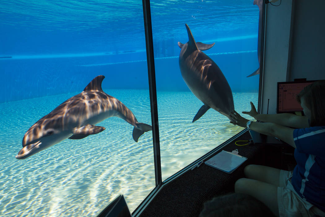 A female dolphin calf, left, born July 17 to Huf n Puf, swims around at Siegfried & Roy's Secret Garden and Dolphin Habitat at The Mirage hotel-casino in Las Vegas on Tuesday, Aug. 1, 2017. Th ...