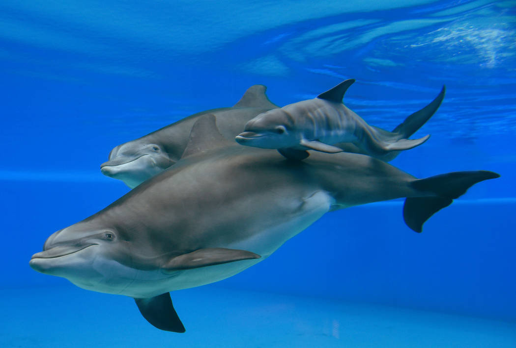 The Mirage's three generations of dolphins, Huf n Puf, Calf and Duchess. (Kathryn Curreri/The Mirage)