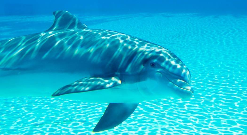 With the brand-new arrival of a new baby dolphin — as of yet unnamed — at Siegfried & Roy's Secret Garden and Dolphin Habitat at The Mirage, there are now three generations of the beauti ...