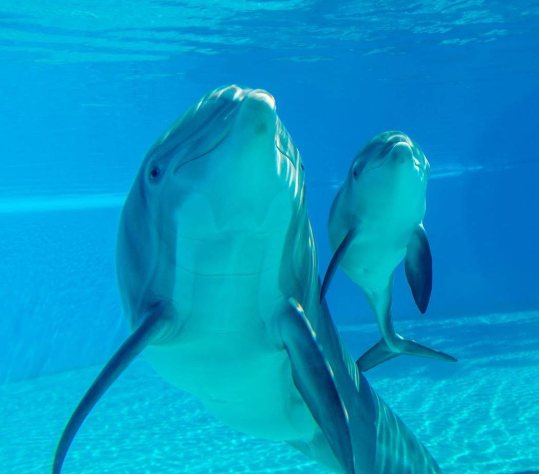 The 2-week old unnamed dolphin and her mother, Huf n Puf. (Tom Donoghue)