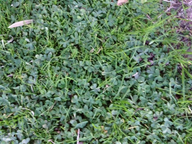 Oxalis Can Be Difficult To Control In Bermuda Grass Las Vegas Review Journal