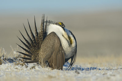 "The greater sage grouse lives year-round among sagebrush, as shown in the PBS ""Nature"" episode ""The Sagebrush Sea."""