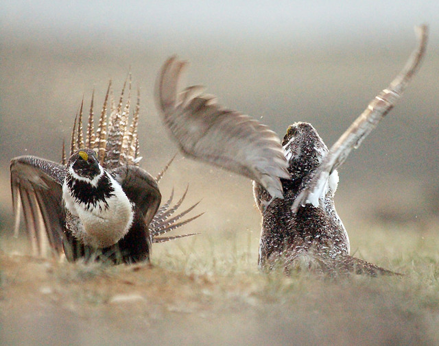 Male sage grouse strut, dance and puff up their decorative chest feathers as they battle for the attention of female sage grouse on their historic mating grounds, called leks, southwest of Rawlins ...