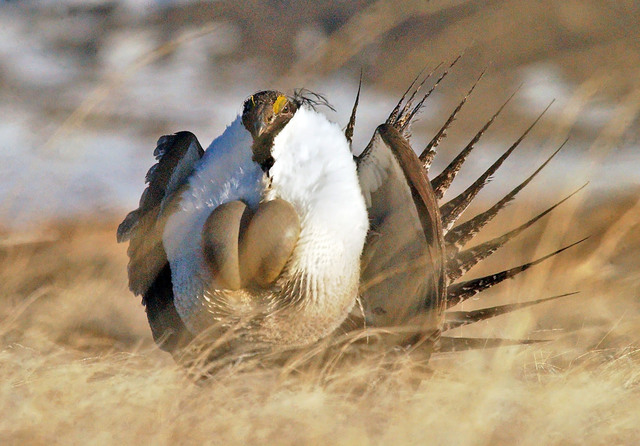In this file photo taken, April 15, 2008, near Rawlins, Wyo., a male sage grouse performs his strut during which he rapidly inflates and deflates air sacs in his neck, paces in a circle and makes  ...