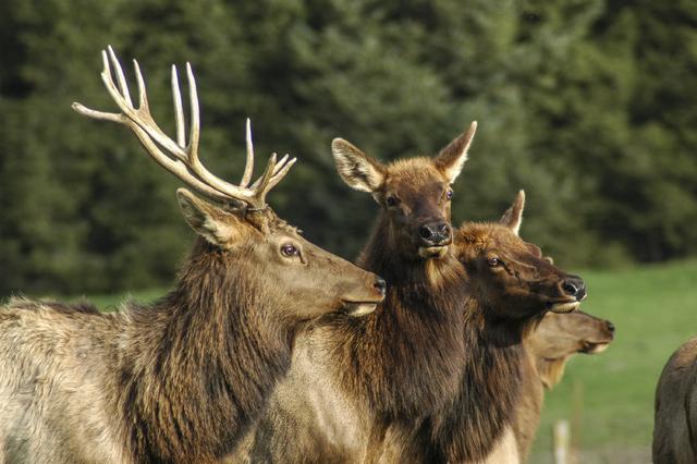 Elk herd (Thinkstock)