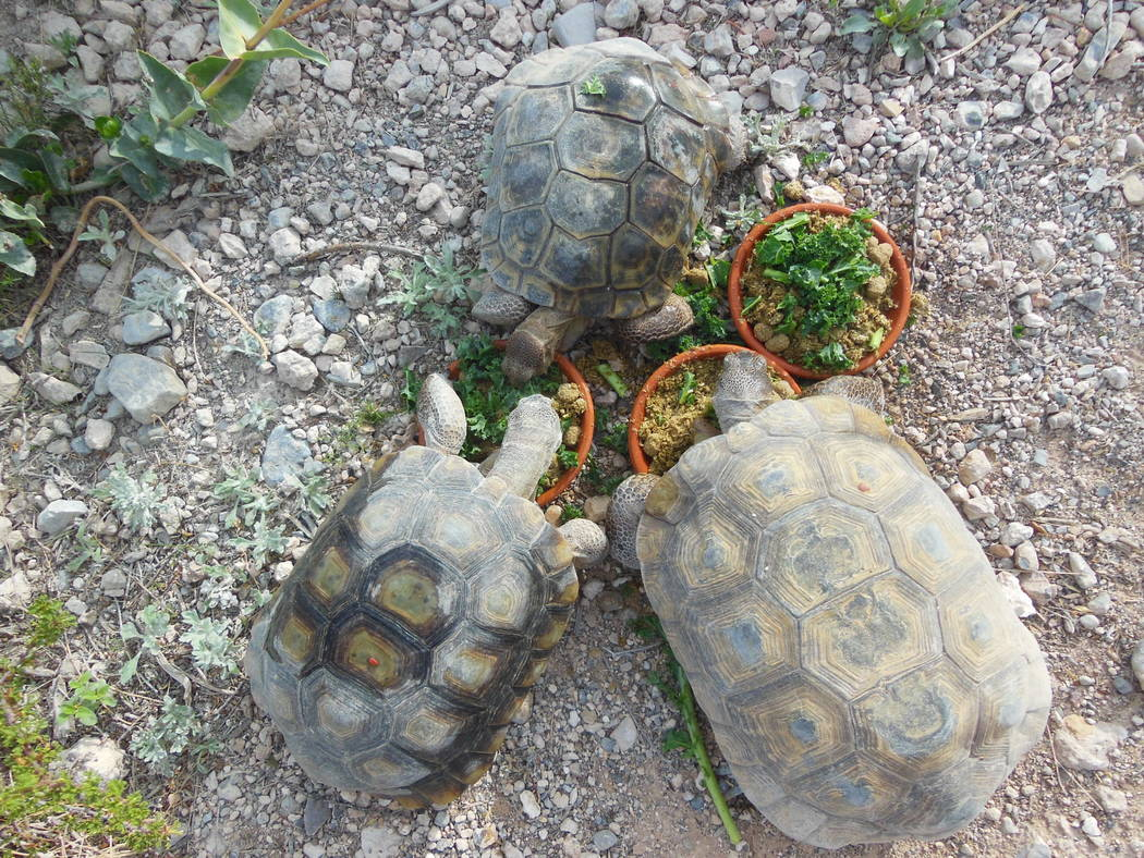 Tortoises munch on lunch in this undated photo at the Red Rock Canyon Tortoise Habitat. The habitat received two new tortoises in July. (Red Rock Canyon)