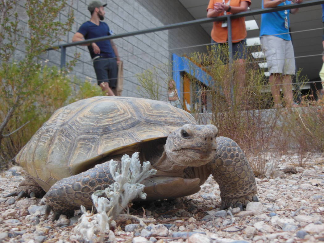 A tortoise referred to as Big Girl until she was officially named, gets used to her new surroundings July 19, 2017, the Red Rock Canyon Tortoise Habitat, part of Red Rock Canyon's Visitor Center.  ...