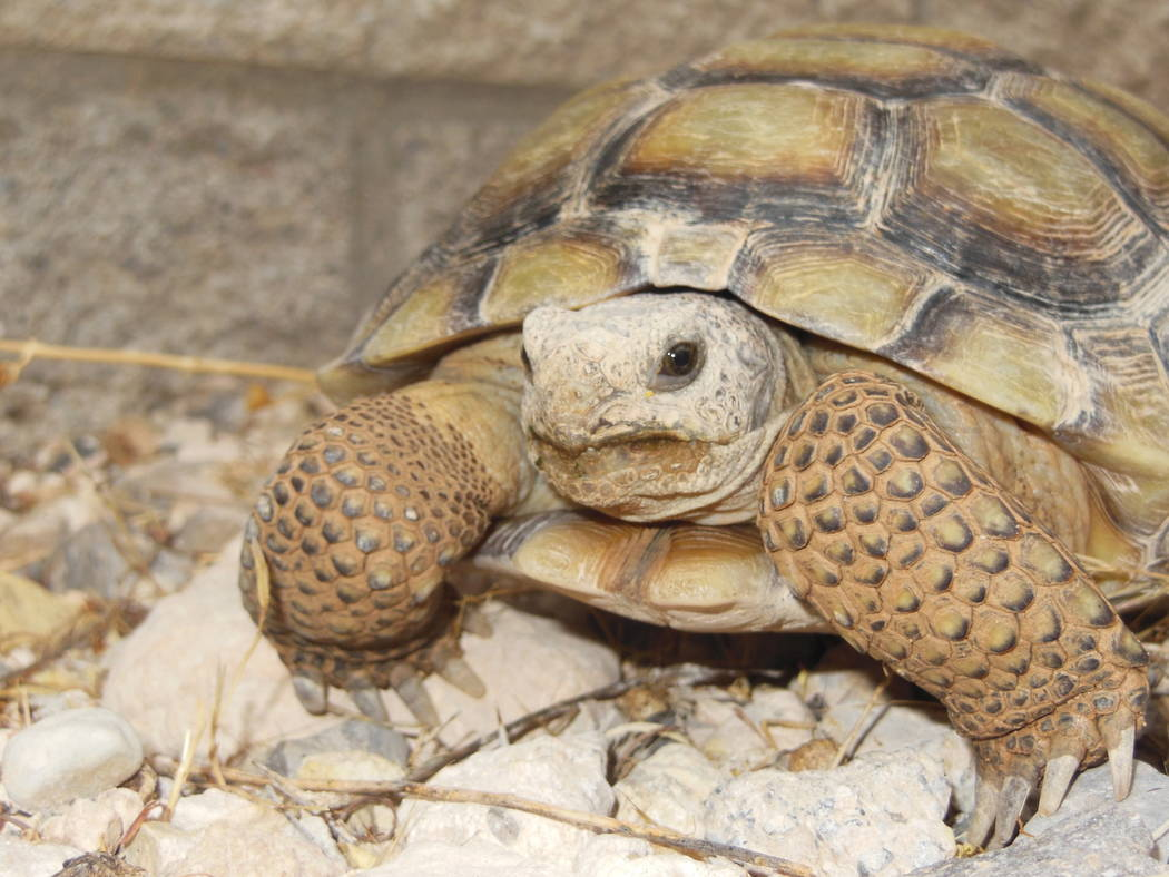 The smaller of the two newcomers, Roxie, gets used to her new surroundings July 19, 2017, at the Red Rock Canyon Tortoise Habitat.  Her size and weight (less than two pounds) led Kelsey Retich, th ...