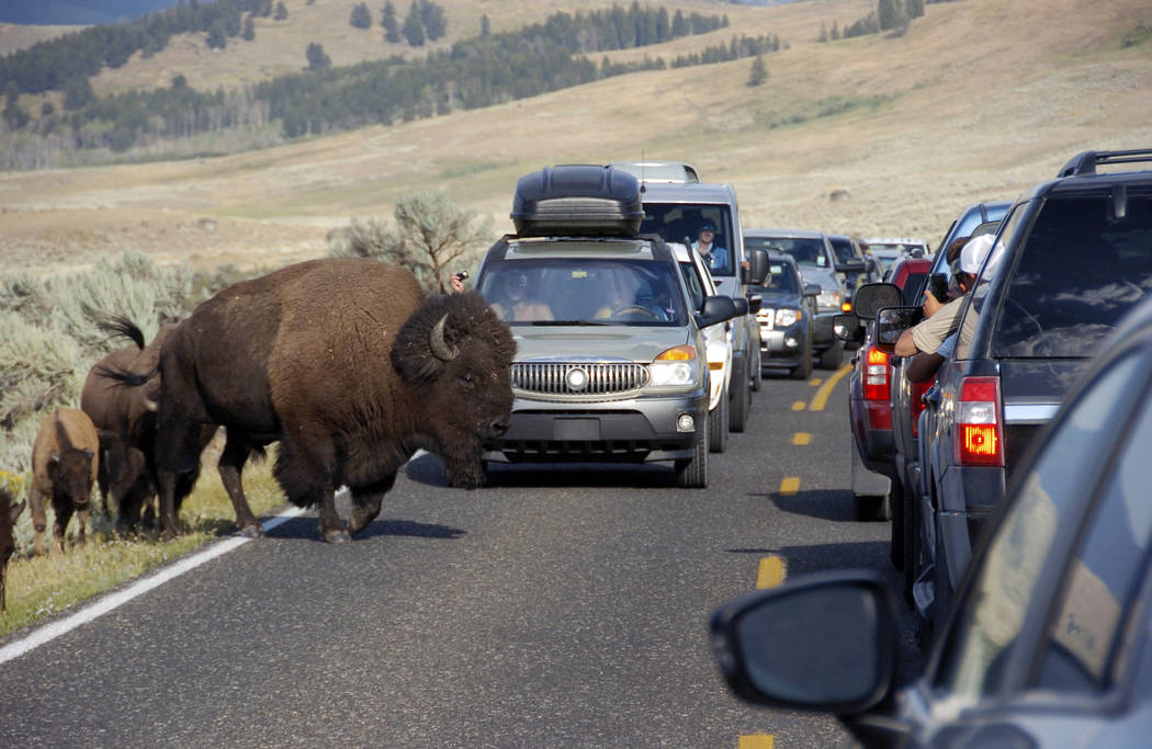 A large bison blocks traffic as tourists take photos of the animals in the Lamar Valley of Yellowstone National Park in Wyoming on Aug. 3, 2016. Sometime within the next four to six years, Yellows ...
