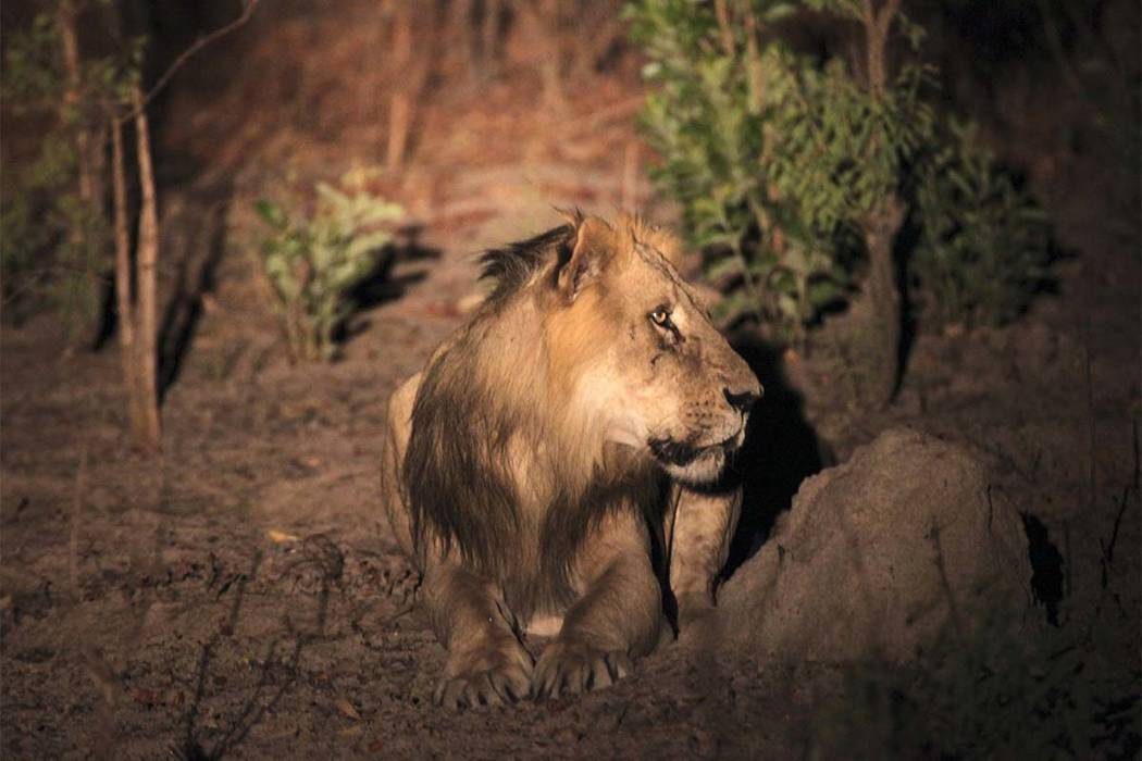 This photo taken on Sunday, April 3, 2011, shows an adult male lion during a lion survey in Niokolo-Koba National Park in south eastern Senegal.Only about 400 lions remain in the region out of the ...