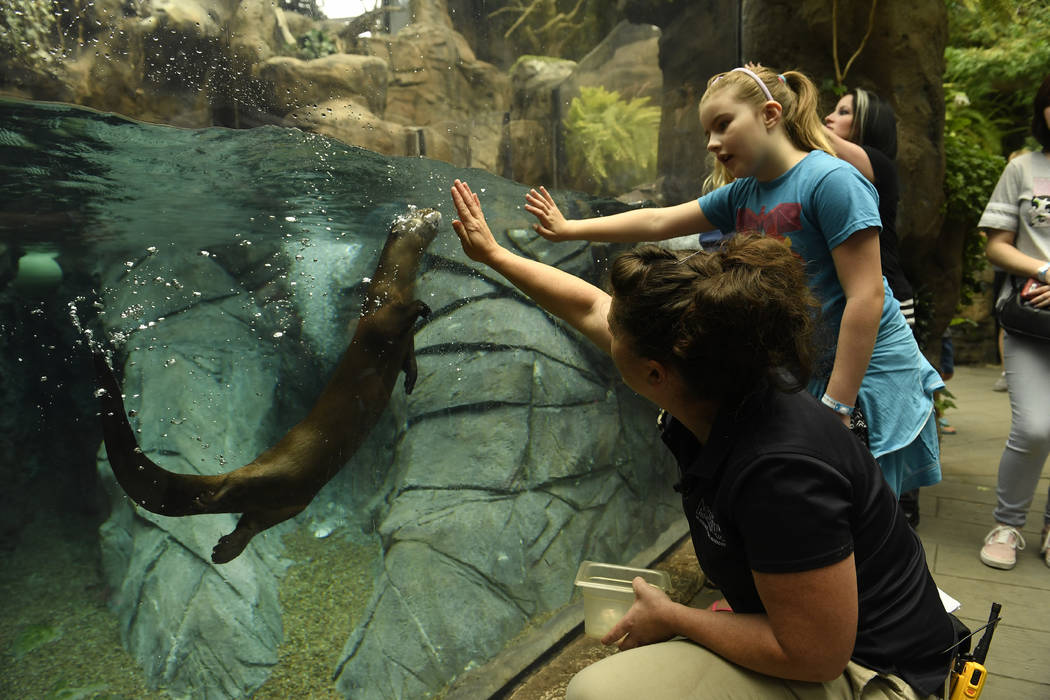LynnLee Schmidt, right, Curator of Birds and Mammals at the Denver Aquarium gets Olive, a North American River otter, to swim with her hand in her enclosure at the Denver Aquarium on July 26, 2017 ...