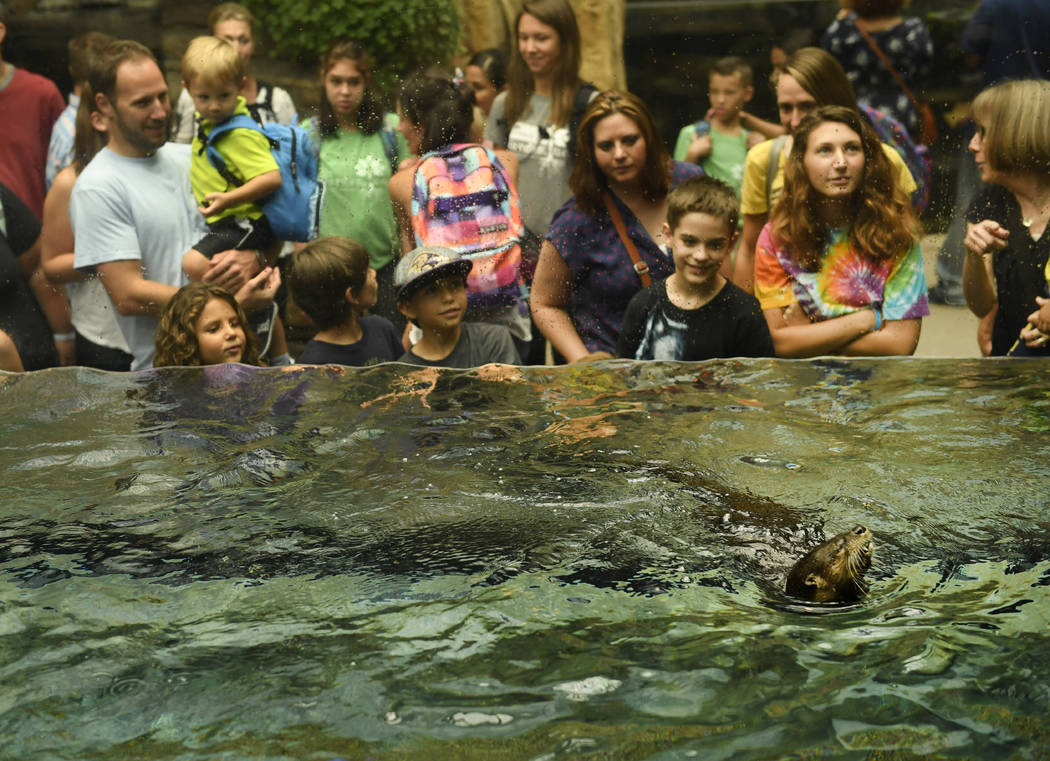 Visitors enjoy watching Olive, a North American River otter, swim in her enclosure at the Denver Aquarium on July 26, 2017 in Denver.  Olive, initially named Oliver as Aquarium workers believed sh ...