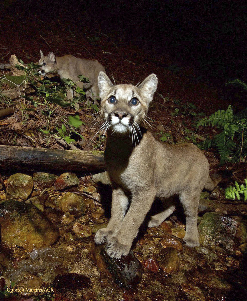 This Aug. 2, 2017 photo provided by the Audubon Canyon Ranch shows two mountain lion kittens they are tracking in Sonoma County near Glen Ellen, Calif., north of San Francisco. (Quinton Martins/Au ...
