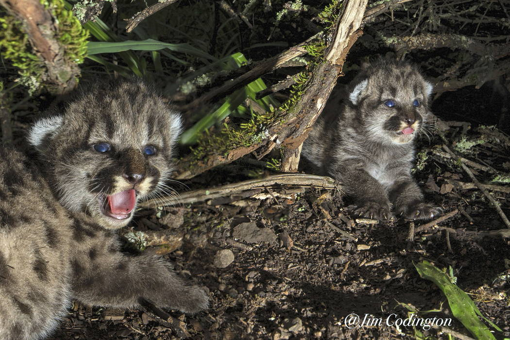This undated photo provided by the Audubon Canyon Ranch shows two 10-day-old mountain lion kittens they are tracking in Sonoma County near Glen Ellen, Calif., north of San Francisco. (Quinton Mart ...
