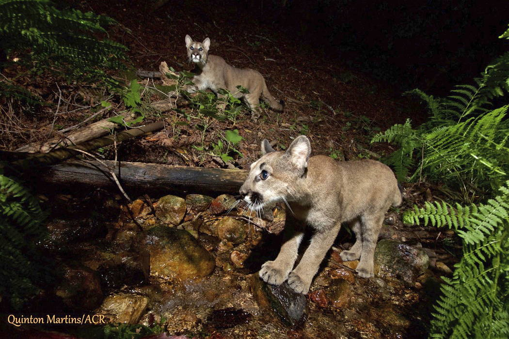 This Aug. 2, 2017 photo provided by the Audubon Canyon Ranch shows two mountain lion kittens they are tracking in Sonoma County near Glen Ellen, Calif., north of San Francisco. T(Quinton Martins/A ...