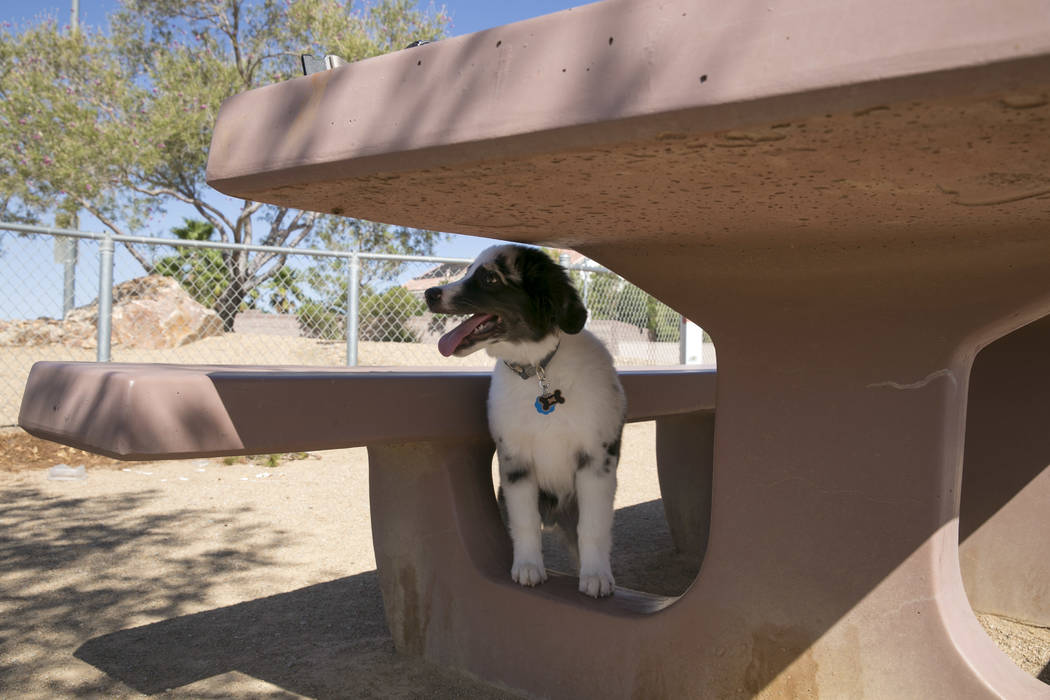 Christine Yoo and Sharmaine Velasco's dog Atticus rests in the shade in the small dog run in Silverado Ranch Park in Las Vegas, Tuesday,Aug. 15, 2017. Gabriella Angotti-Jones Las Vegas Review-Jour ...
