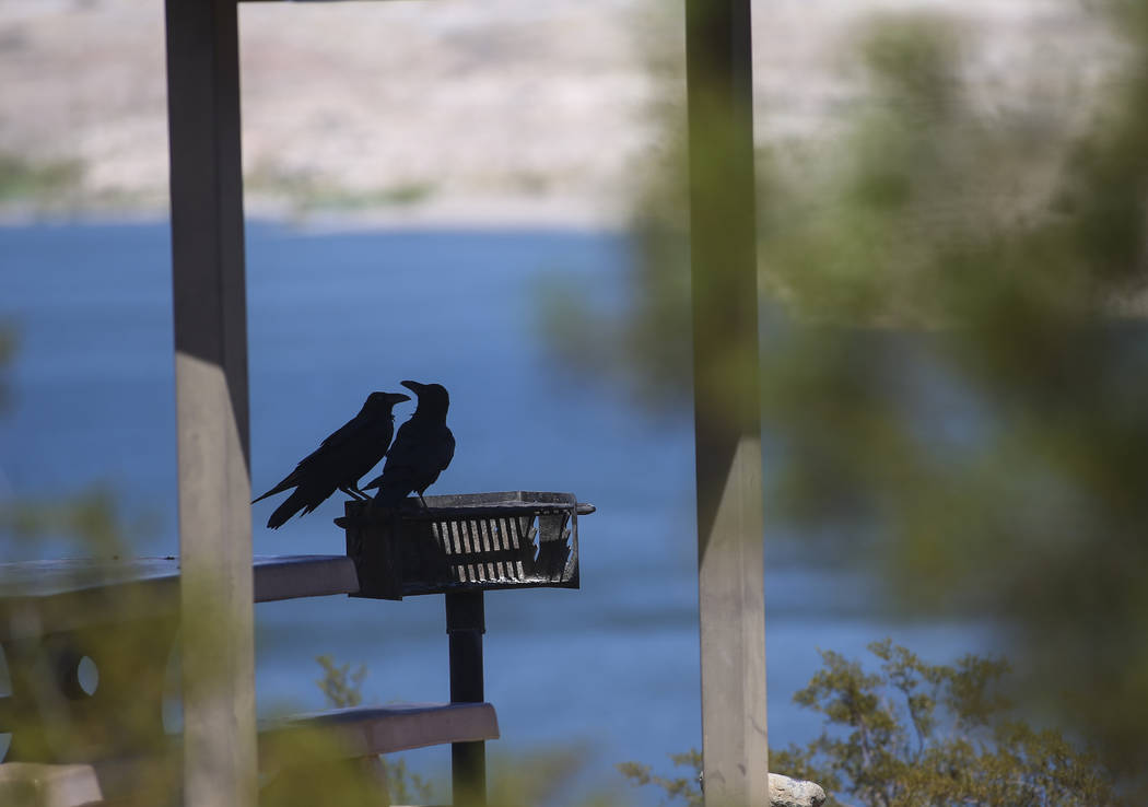 A pair of ravens relax in the shade at Lake Mead National Recreation Area on Tuesday, Aug. 15, 2017. Chase Stevens Las Vegas Review-Journal @csstevensphoto