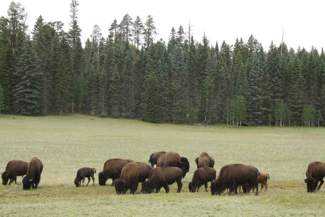 Bison can sometimes be found in the meadows just after entering the park's main entrance. (Deborah Wall)