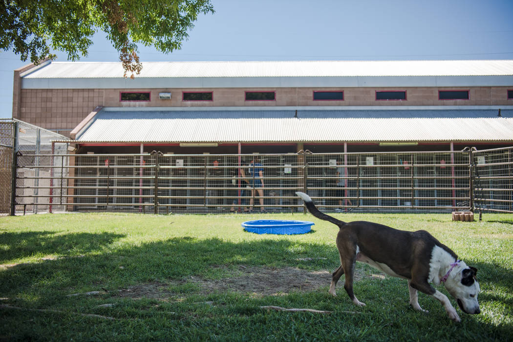 "Jackie, a pit bull available for adoption, at Henderson Animal Care and Control Facility during a ""Clear the Shelters"" event on Saturday, Aug. 19. 2017, in Henderson. At the even ..."